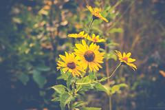 Flowers in summer (michaelraleigh) Tags: bokeh vintage 18135mm gray beautiful hidden infocus minnehaha minnesota outdoors green canon highquality flowers blurred