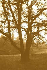 oak tree, eugene 1 (quartz daum) Tags: oak tree sepia tone outline sillouette valley pine trees leabes leaves late afternoon