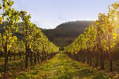 autumn has arrived // vineyards in Leiwen (krizzly7) Tags: vineyard vine wine wein weinberg vineyards landscape landschaft nature natur sunset mosel leiwen trauben grapes