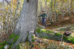 Pino loricato (Pinus heldreichii = Pinus leucodermis)