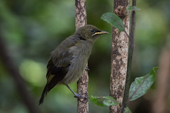 Korimako (Brendon & Keryn) Tags: zealandia well spring newzealand northisland bellbird korimako anthornis melanura