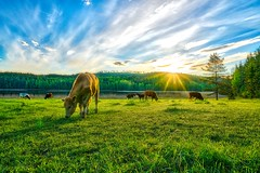 Morning Fields (Tommi Saltiola) Tags: ifttt 500px field nature landscape hdr animal cow countryside maisema luonto pelto