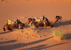 Time to Get Up! (christine zenino) Tags: desert camels sunrise morocco saharadesert