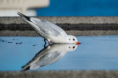 Meeting for a drink (Philip McErlean) Tags: reflection mirror image seagull gull double water nikon d3200