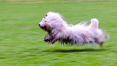 Speedy Alex II (photalena) Tags: hamburg hunde seminar seminarhundefotografie 7dwf dog fauna weis 52wochenfotochallenge