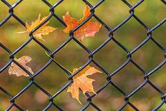 On the Fence (WilliamND4) Tags: fencefriday fence hff leaf leaves autumn meyeroptikgoerlitztrioplanf28100lens nikond810