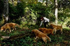 Ciclamini (Franco Vannini) Tags: madonnadelfaggio tuscany toscana beech oak faggio quercia autunno goldenretrievers