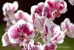 Orchids (Tim Stocker) Tags: orchids colours timstocker