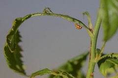 IMG_9600 (chogori20) Tags: animal insect coccinelle nature