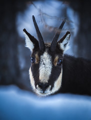 Take a closer Look [Explored 02/12/2016] (mr.martino) Tags: chamois camoscio pngp granparadiso wildlife mountain animal