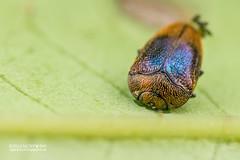 Jewel beetle (Trachys sp.) - DSC_2774 (nickybay) Tags: malaysia johor gunungpulai trachys buprestidae jewel beetle