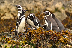 Pingino (Gustavo Nudo (Guslight)) Tags: nature ilovenature natgeo pingino birds aves avisan sudamrica