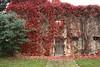 Saisonale Fassadengestaltung (julia_HalleFotoFan) Tags: wilderwein jungfernrebe parthenocissusquinquefolia parthenocissus