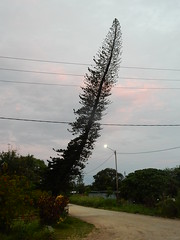 Tall Tree With Big Lean (mikecogh) Tags: espiritusanto santo luganville tree leaning street dirt wires