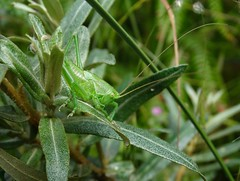Great green bush-cricket nymph (f) (rockwolf) Tags: greatgreenbushcricket tettigoniaviridissima orthoptera cricket bushcricket sauterelle insect sennencove cornwall 2016 rockwolf