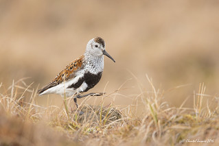 I can stand on one feet -More Dunlin Alaskan Style