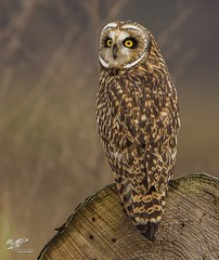 Backshot (Short-Eared Owl) (The Owl Man) Tags: ngc