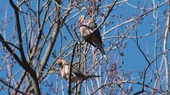 A Pair of Doves (blazer8696) Tags: brookfield connecticut obtusehill usa unitedstates columbidae columbiformes dove img4684 macroura mourning mourningdove zenaida zenaidamacroura