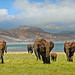 Elephants walking across the plains in Bumi National Park