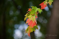 Fall Maple (Jeannot7) Tags: bokeh wednesday happybokehwednesday fall autumn maple