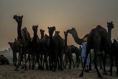 L1002830.jpg (Bharat Valia) Tags: pushkarfair bharatvalia desert rajasthanportraits bharatvaliagmailcom sheperd pushkarimages pushkarmela festivalsofindia camel pushkarcamelfair pushkar