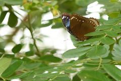 Hypolimnas bolina - Fang Hot Springs_2016-04-21_192 (Jan F. Rasmussen - love comments but delete awards) Tags: nymphalinae nymphalidae nymphalid nymphalids thailand d800 macro closeup insecta nikon janfischerrasmussen janfrasmussen asia southeastasia chiangmaiprovince rhopalocera butterfly butterflies lepidoptera hypolimnasbolina hypolimnas