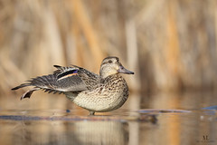 Sarcelle d'hiver♀ - Common Teal -  Anas crecca (Maxime Legare-Vezina) Tags: bird oiseau duck nature wild wildlife animal fauna biodiversity ornithology canon water lake