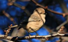 Bushtit (TJ Gehling) Tags: bird songbird bushtit bush tit psaltriparus psaltriparusminimus ohlonegreenway fairmontpark elcerrito