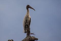 Wood Stork Stretching Foot (Barbara Evans 7) Tags: wood stork stretching foot pantanal brazil barbara evans7
