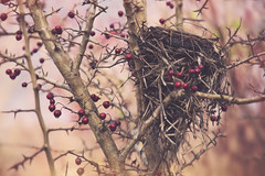 Nesting (charhedman) Tags: nest rithetsbog victoria berries tree twigs branches pink red