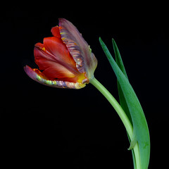 Multicoloured tulip (Funchye) Tags: naturallight tulip tulipan flower blomst parrottulip nikon d610 105mm foliage