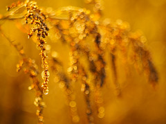 Photographic alchemy (Karsten Gieselmann) Tags: abstrakt bokeh braun czjpancolar50mmf18 dof em5markii farbe feldweidewiese gegenlicht gelb gold herbst jahreszeiten licht microfourthirds olympus schrfentiefe strauch strucher tau vintagelens wetter abstract autumn brown bush bushes color dew fall golden impression kgiesel lawn light m43 meadow mft seasons weather yellow