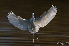 Une danseuse étoile... (Régis B 31) Tags: aigrettegarzette ardéidés egrettagarzetta littleegret pélécaniformes ariège bird canon7d domainedesoiseaux mazères oiseau