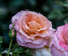 Day light Rain Drop's. (Omygodtom) Tags: flower flickr waterdrops raindrop rainbow rose pink green orange outdoors portland oregon tamron90mm macro macromonday tamron natural nikkor nature nikon d7100 dof perspective bokeh
