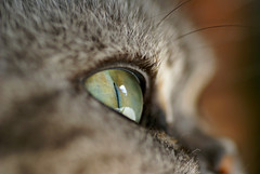 Macro Lens Test Dummy (Jaedde & Sis) Tags: macro eye cat dof sweep challengeyouwinner matchpointwinner moonshade flickrchallengegroup flickrchallengewinner 15challengeswinner friendlychallenges beginnerdigitalphotographychallengewinner challengefactorywinner thechallengefactory bdpc cyunanimous storybookwinner mpt498