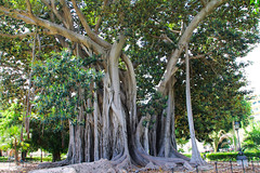 Ficus Palermo (Claudio Siragusa) Tags: city verde green nature garden ficus villa sicily palermo albero giardino citt sicili