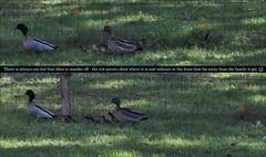 Australian Wood Ducks with their Bubs - 14th August 2015 (Brissy Girl - Jan, my computer crashed again) Tags: duck ducklings australia woodduck australianwoodduck familyanatidae seqld henonettajubata