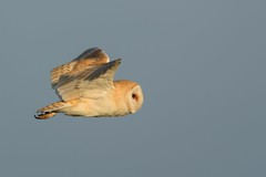 Early morning fly-by (davepsemmens) Tags: morninglight earlymorning owl barnowl
