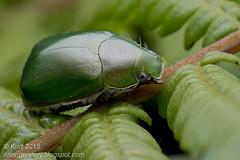Green scarab_MG_0391 copy (Kurt (OrionHerpAdventure.com)) Tags: scarab coleoptera scarabbeetle scarabaeidae coleopteran