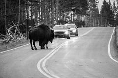 Traffic (Corvus tristis) Tags: nature animals buffalo yellowstonenationalpark yellowstone nationalparks bison