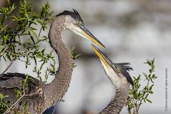 Great Blue Heron Siblings-0296 (dennis.zaebst) Tags: bird heron florida wildlife ngc young npc 500 greatblueheron fledgling nestlings 14x venicerookery eiap naturethroughthelens 1dmarkiv coth5