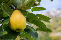 Dunja (Vujisic Photo) Tags: autumn fruit montenegro dunja