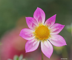 """Eye-catcher at Dahlia Hill • <a style=""""font-size:0.8em;"""" href=""""http://www.flickr.com/photos/26989598@N08/21819051546/"""" target=""""_blank"""">View on Flickr</a>"""