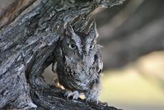 Arktos (kenzie-leigh2) Tags: bird nature birds wildlife raptor owl prey eastern raptors owls screech barred
