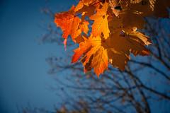 Colors of Autumn (Les couleurs de l'automne) (Gilderic Photography) Tags: blue autumn sky orange nature colors forest automne canon eos belgium belgique belgie couleurs ciel liege foret arbre bois feuille 500d gilderic