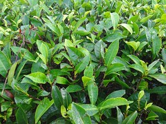 Tea Foliage (Anulal's Photos) Tags: tea camellia teaplantation camelliasinensis chay tealeaves teatree tealeaf teaplant theaceae teavalley teashrub teavally vagamontea vagamonteaplantation teaplantationvagamon teafoliage teaplantationvalley vagamonvally vagamonteavalley