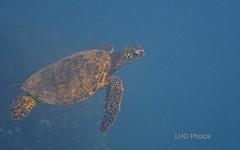 Green Turtle (LHDPhotos) Tags: borderfx