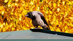 Wise bird (ahmBerlin *I'll be back soon*) Tags: autumn bird herbst wise vogel plumage weise corvuscorone rabenvogel humped gefieder nebelkrhe hoodiecrow bucklig