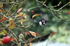 Msange  longue queue (Mariie76) Tags: queue vol animaux arbre oiseau pommier msange longue aegithalos caudatus passereaux msangelonguequeue