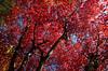 unter dem Ahornbaum (SofteisBoy) Tags: acer herbstlaub ahorn herbstfarben blattfärbung unterdembaum